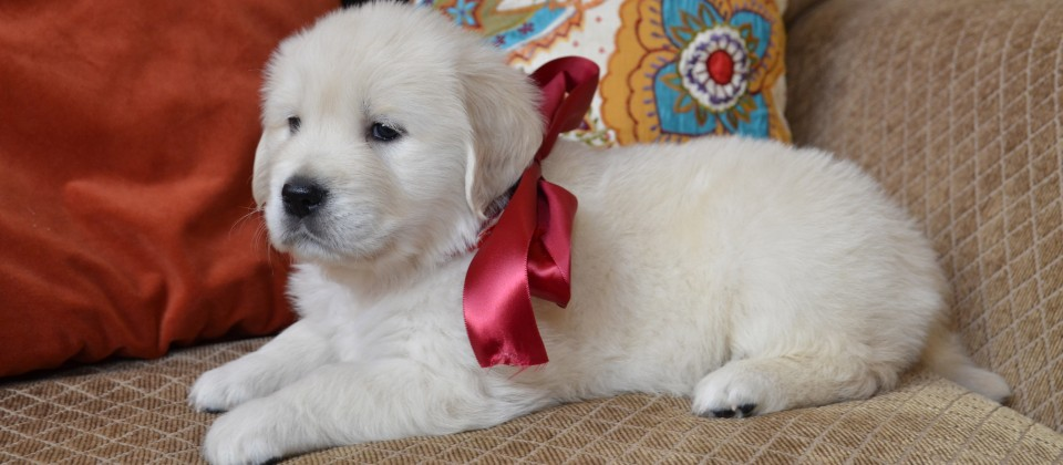 Female English Cream Golden Retriever Puppy