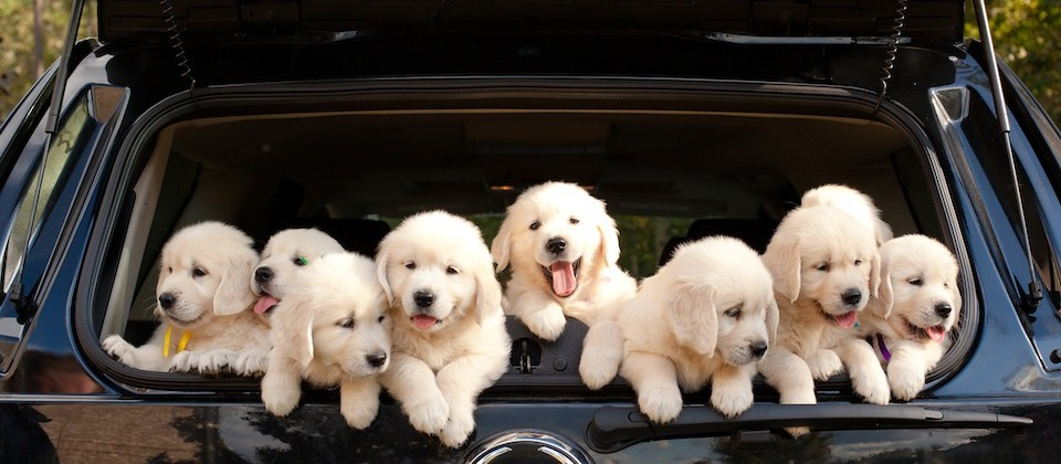 cadillac puppies